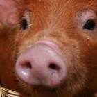 Сбежавшую свинью ловили на печеньки