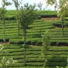 Интересные факты про чай ТОП 10