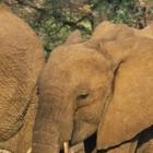 Месть слонов