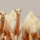Скандал на конкурсе красоты верблюдов